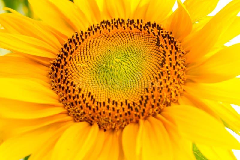 De heldere gele zonnebloemen in volledige bloei in tuin voor olie verbetert huidgezondheid en bevorderen celregeneratie royalty-vrije stock afbeelding