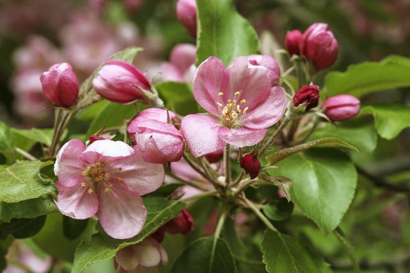 De heldere kleurrijke roze boom van de bloemenappel in de lente stock foto's