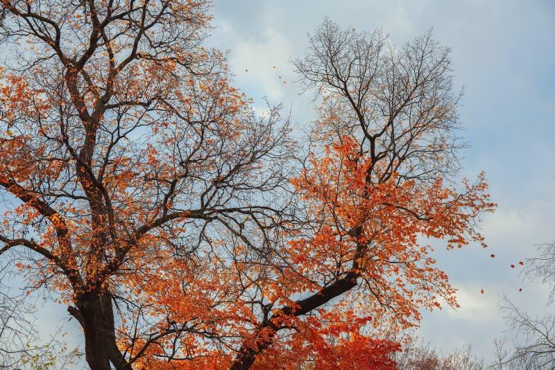 De heldere kroon van de de herfstboom, die van de wind rode laatste bladeren vliegen stock afbeelding
