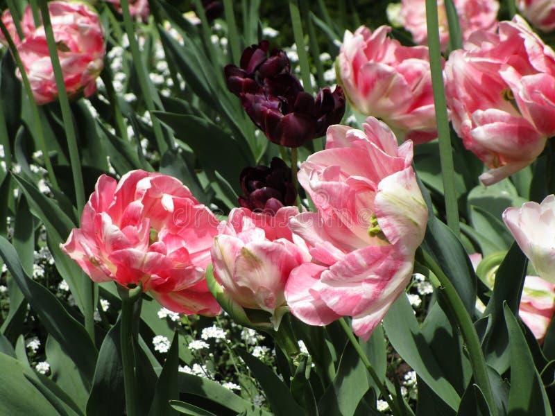 De heldere mooie roze en purpere tulp bloeit in de lente, Canada, Mei 2018 royalty-vrije stock foto