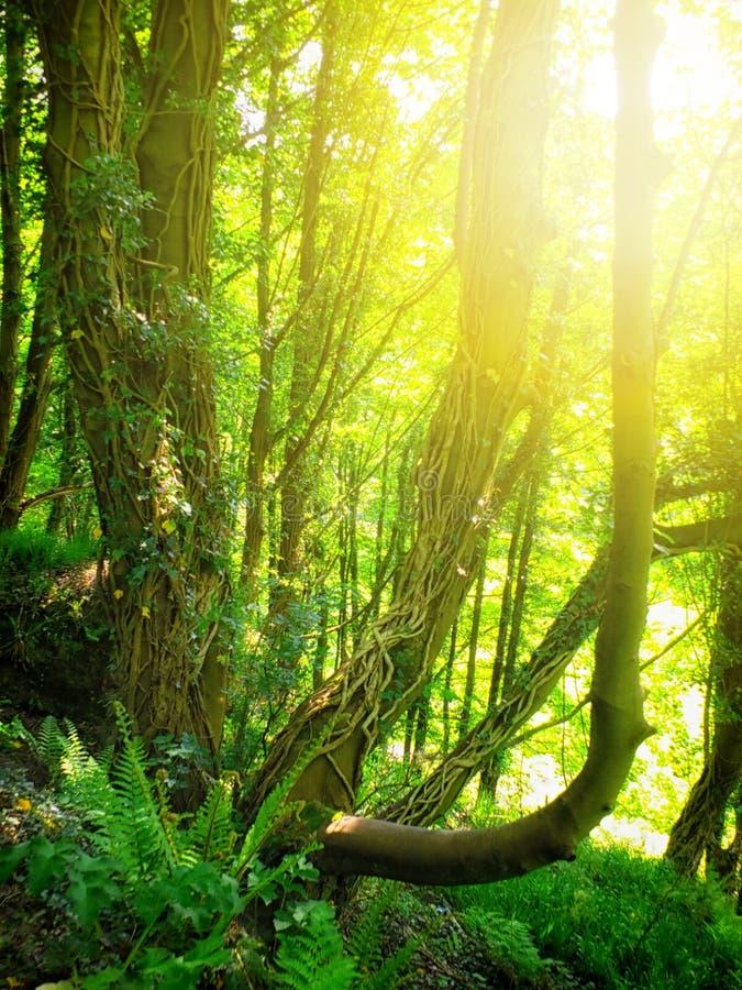 De heldere ochtendzonneschijn die hoewel de klimop oude bomen in helder verlicht nevelig de lentebos met klimop glanzen behandeld royalty-vrije stock foto