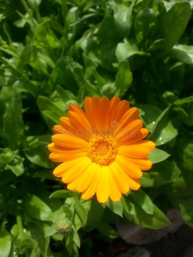 De Heldere Oranje Aard van de kamillebloem royalty-vrije stock foto