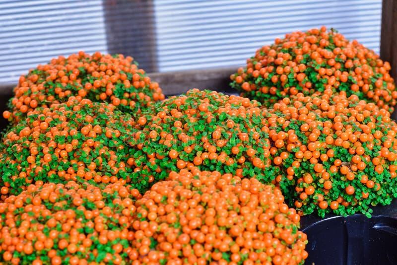 De heldere oranje bes van Bush royalty-vrije stock foto