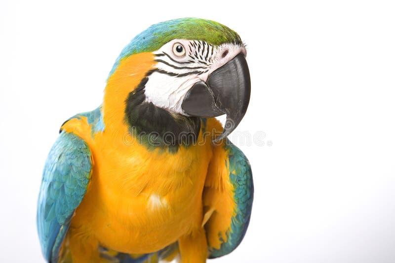 De heldere papegaai van Aronskelken stock foto's