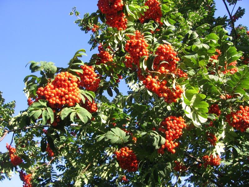De heldere rijpe oranje bessen van Siberische Lijsterbes in groene bladeren hangen clusters in de herfst royalty-vrije stock afbeelding