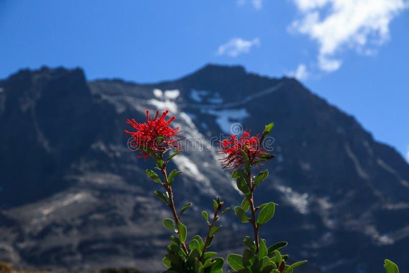 De heldere rode bloemen van Chileense brand ringen Embothrium-coccineum in Torres del Paine National Park royalty-vrije stock afbeeldingen