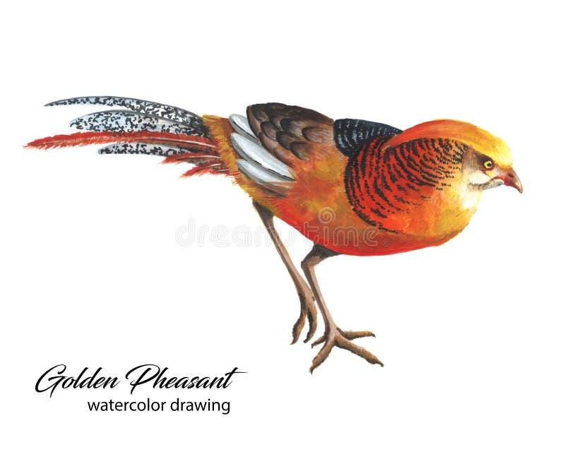 De heldere rode en oranje Chinese tekening van de fazantwaterverf royalty-vrije stock afbeeldingen