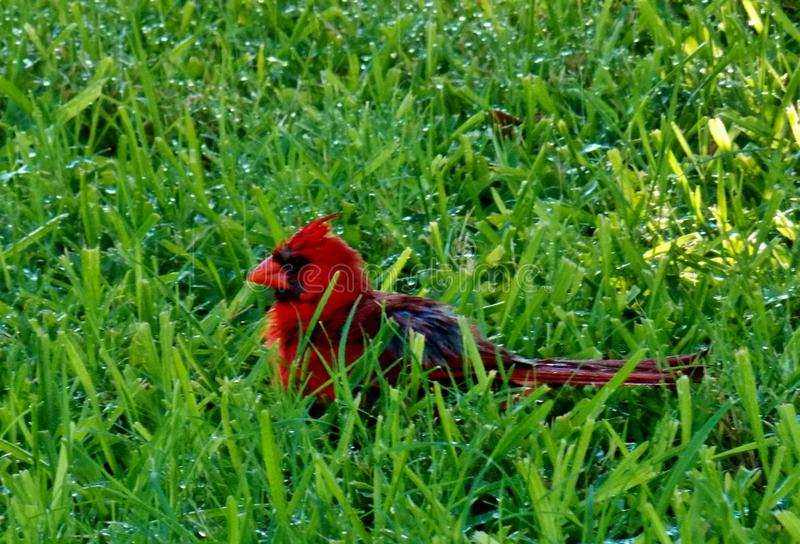 De heldere rode mannelijke Kardinaal geniet van vochtigheid in het gras stock afbeeldingen