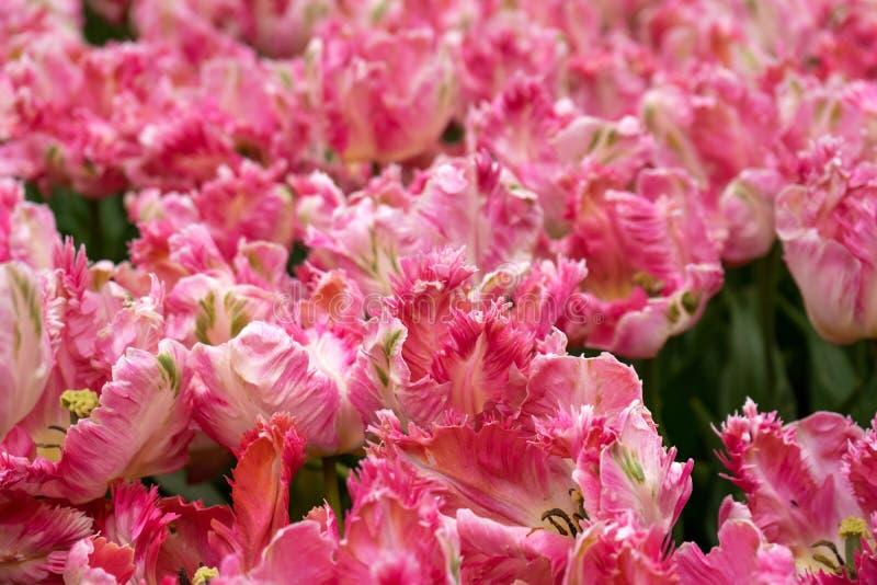 De heldere roze bloemen van de papegaaitulp in park, tuin royalty-vrije stock fotografie