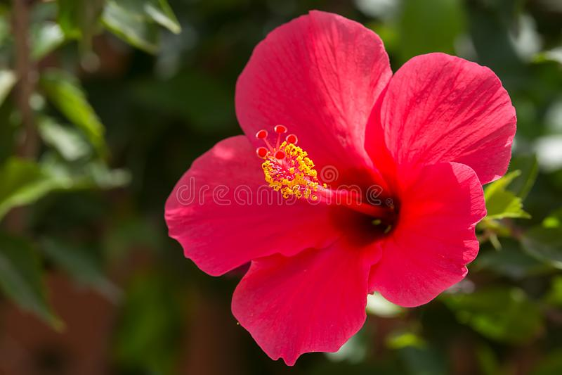De heldere roze grote bloem van purpere hibiscushibiscus nam sinensis op groene bladeren natuurlijke achtergrond, close-up toe stock foto's