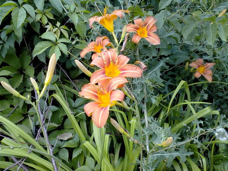 De heldere sinaasappel bloeit daylily royalty-vrije stock afbeelding