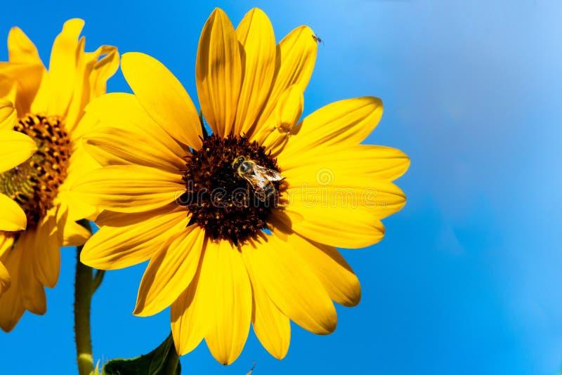 De heldere, trillende gele zonnebloem bezet door een honingbij op het centrum van de bloei plaatste tegen een zwarte achtergrond royalty-vrije stock afbeeldingen