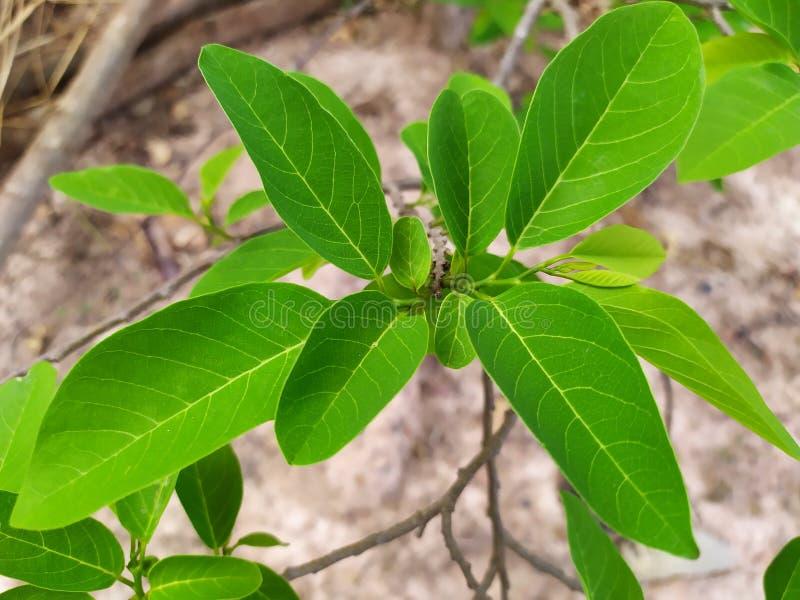 De heldergroene bladeren van de suikerappel in het regenachtige seizoen, de overvloedige groei van groene bladeren en takken stock afbeelding