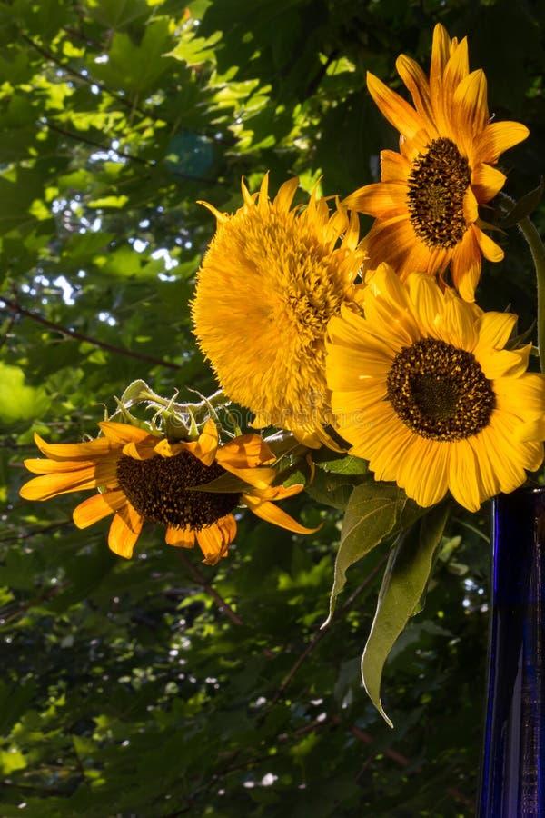 De helft van boeket van zonnebloemen in een blauwe vaas op een zonnige middag royalty-vrije stock foto's