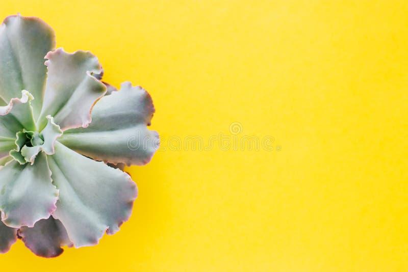 De helft van succulente installatie op een gele achtergrond stock afbeeldingen
