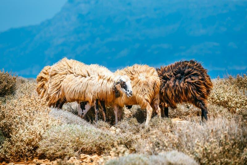 De helft-wildernis sheeps weidt op weiland, Griekenland royalty-vrije stock foto