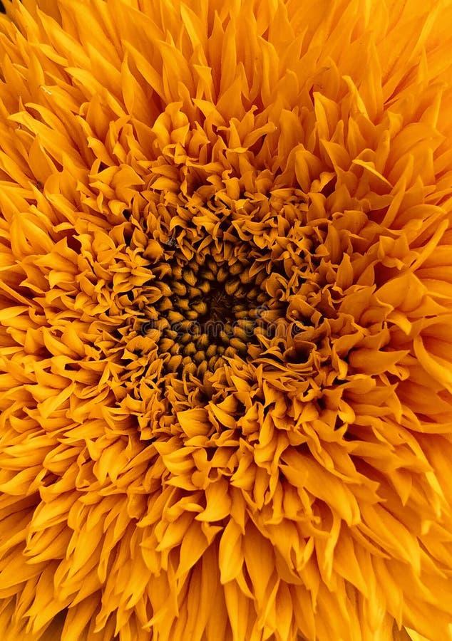 de heliotroopzonnebloem van zonnebloemhelianthus stock fotografie