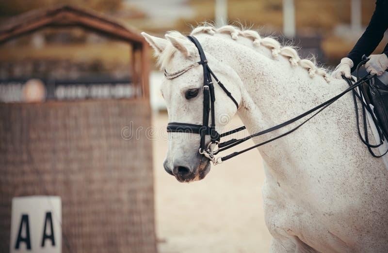 De hengst van portretsporten in de dubbele teugel Dressuur van paarden in de arena royalty-vrije stock foto