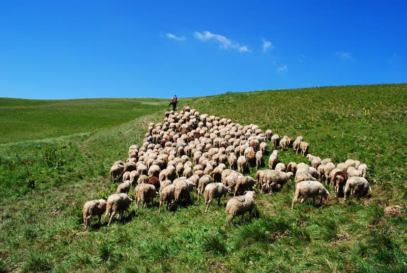 De herder leidt zijn schapen royalty-vrije stock afbeeldingen
