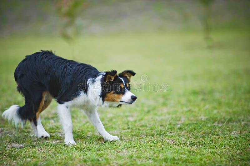 De Herder van de Collie van de grens stock foto