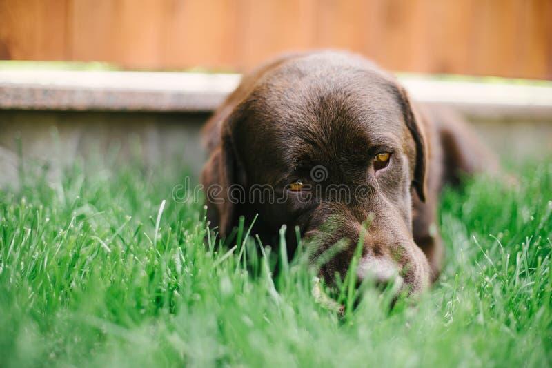 De herdershond Uit Majorca op het grashof royalty-vrije stock foto's