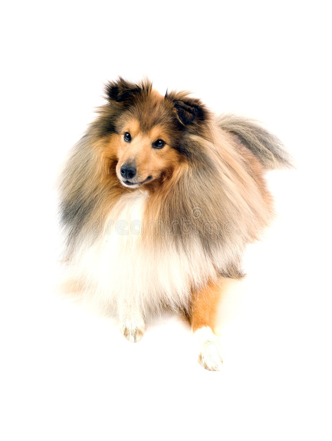 De herdershond van Shetland stock foto's