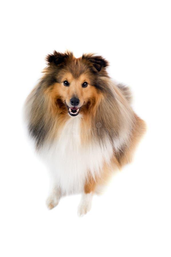 De herdershond van Shetland royalty-vrije stock afbeelding