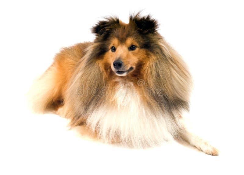 De herdershond van Shetland royalty-vrije stock afbeeldingen