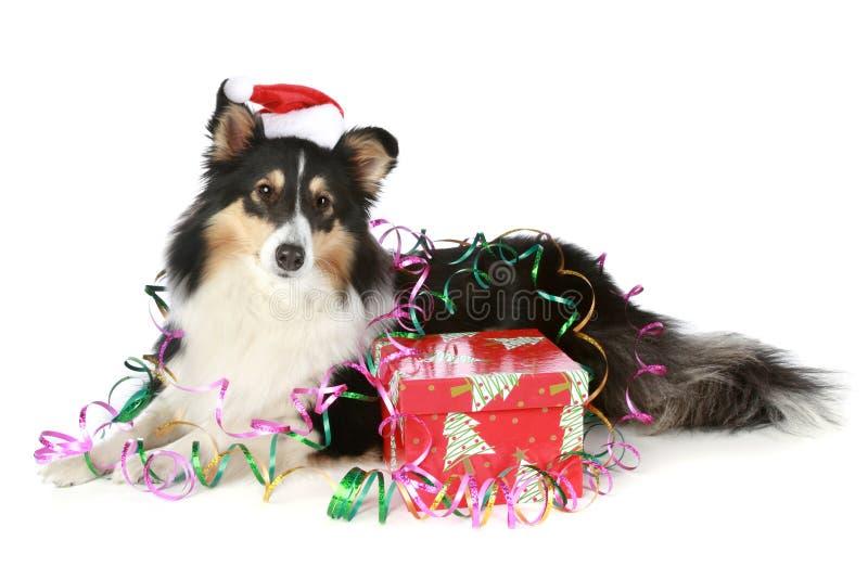 De herdershond van Shetland in de hoed van Kerstmis met een gift stock afbeeldingen