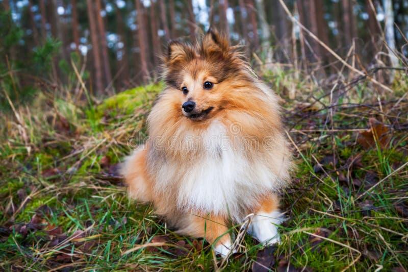 De Herdershond van Shetland ligt op gras royalty-vrije stock foto