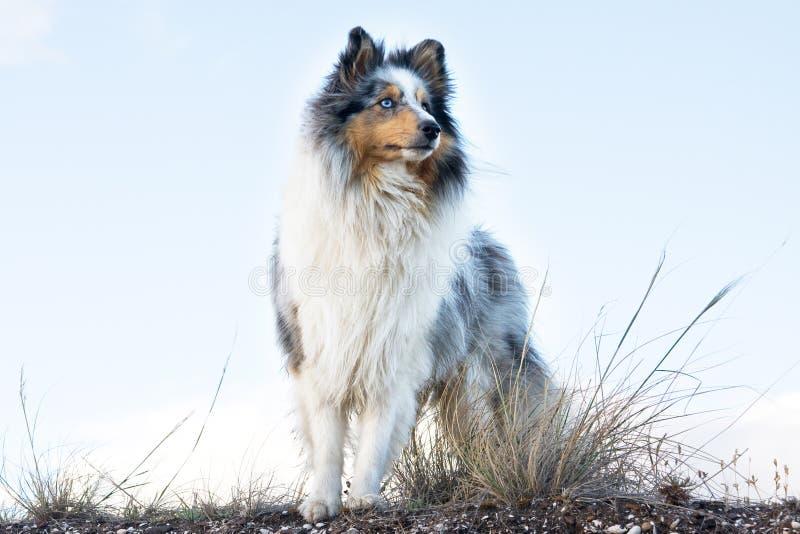 De herdershond van Shetland tegen bleke hemel stock foto's