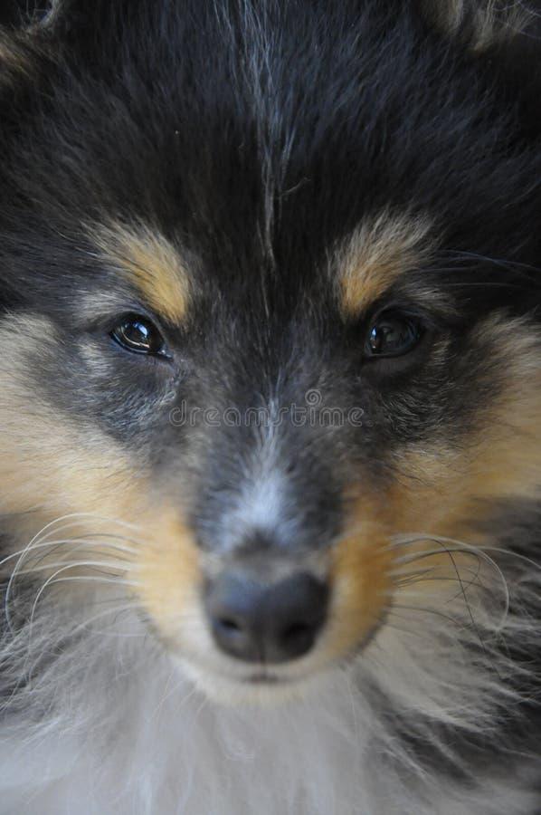 De herdershondpuppy van Shetland stock afbeelding