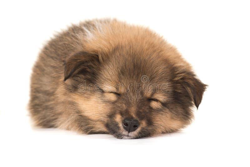 De herdershondpuppy van slaapshetland stock foto