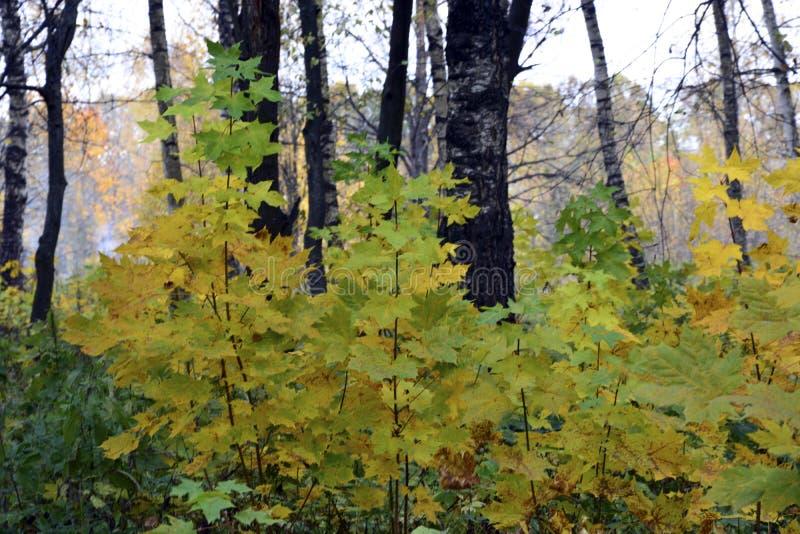 De herfst, aard, de herfst bos Bewolkte hemel Gouden de herfstbladeren royalty-vrije stock fotografie
