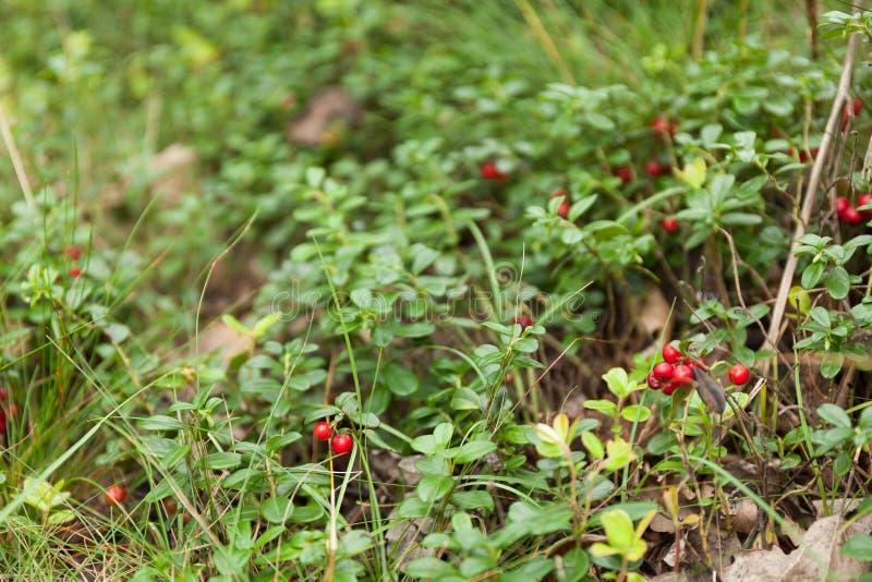 De herfst anti-oxyderende lingonberry tak Mooie vossebesstruik royalty-vrije stock afbeeldingen