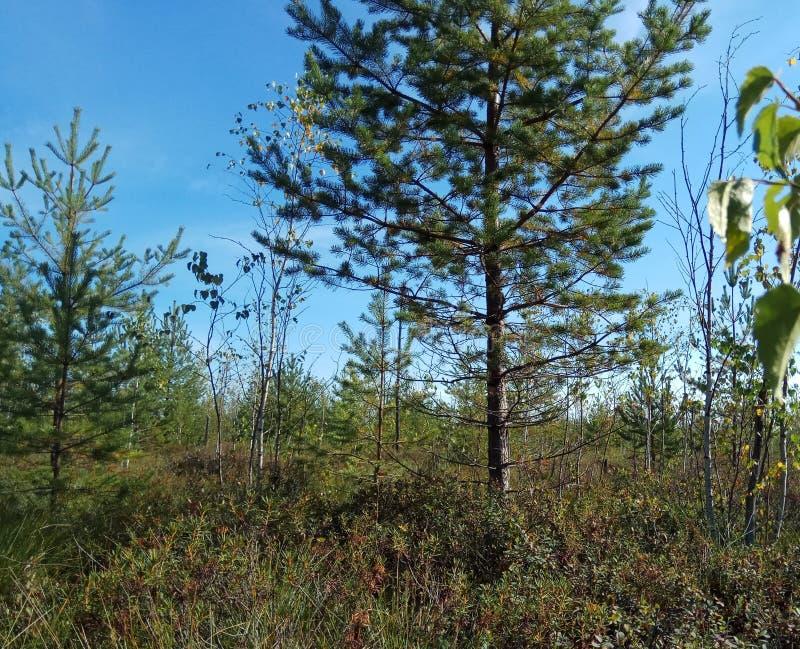 De herfst Bos landschap Blauwe hemel en bomen met gele bladeren en geen bladeren horizon natuurlijke achtergrond van Rusland stock afbeeldingen