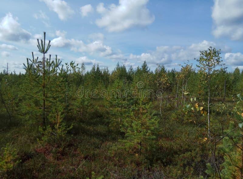 De herfst Bos landschap Blauwe hemel en bomen met gele bladeren en geen bladeren horizon natuurlijke achtergrond van Rusland stock foto