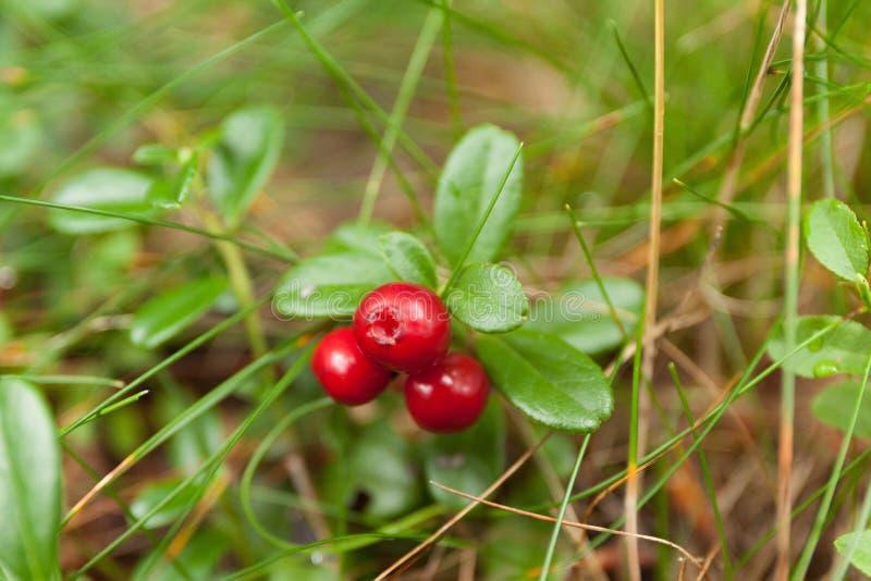 De herfst bos lingonberry tak, vers anti-oxyderend voedsel royalty-vrije stock afbeeldingen