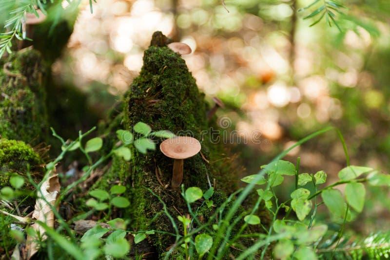 De herfst bosaard, wilde paddestoel royalty-vrije stock afbeeldingen