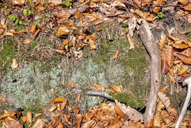 De herfst bosvloer met beuk en eiken bladeren, groen mos, rotsen royalty-vrije stock foto