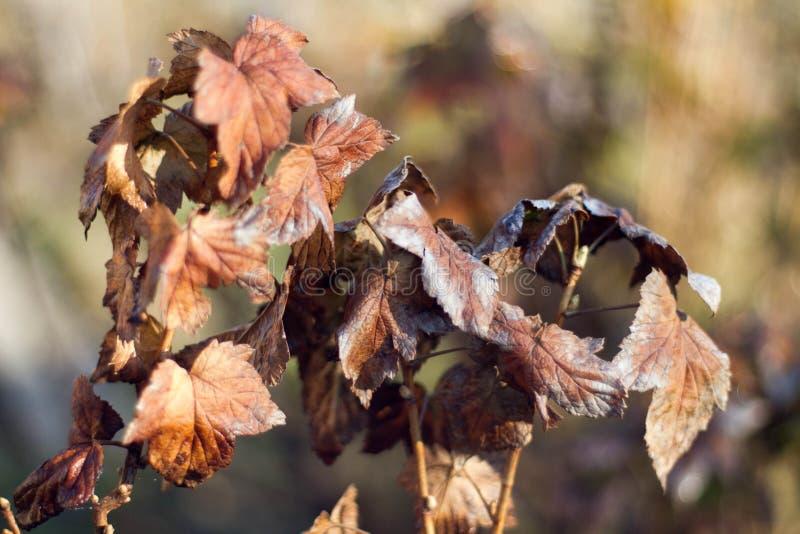 De herfst bruine bladeren op boom stock foto's