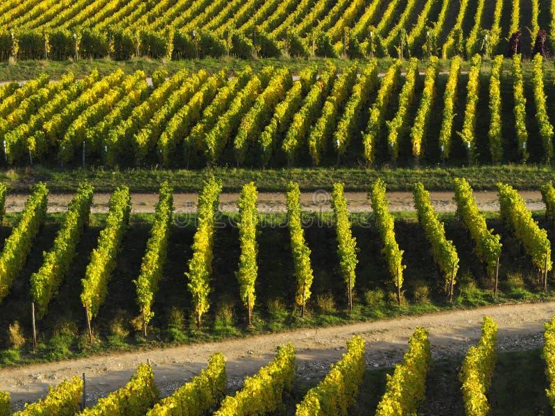 De herfst in de wijngaarden bij de rivier Rijn dichtbij RÃ ¼ desheim stock fotografie