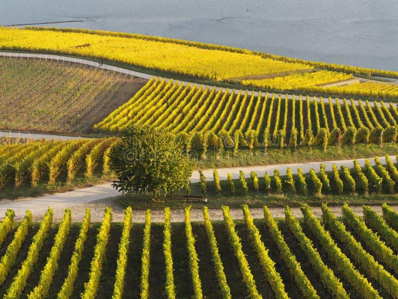 De herfst in de wijngaarden bij de rivier Rijn dichtbij RÃ ¼ desheim royalty-vrije stock fotografie