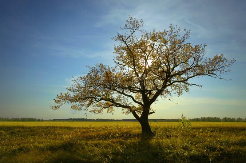 De herfst een eenzame eiken boom en droge grassen onder een blauwe hemel royalty-vrije stock afbeeldingen