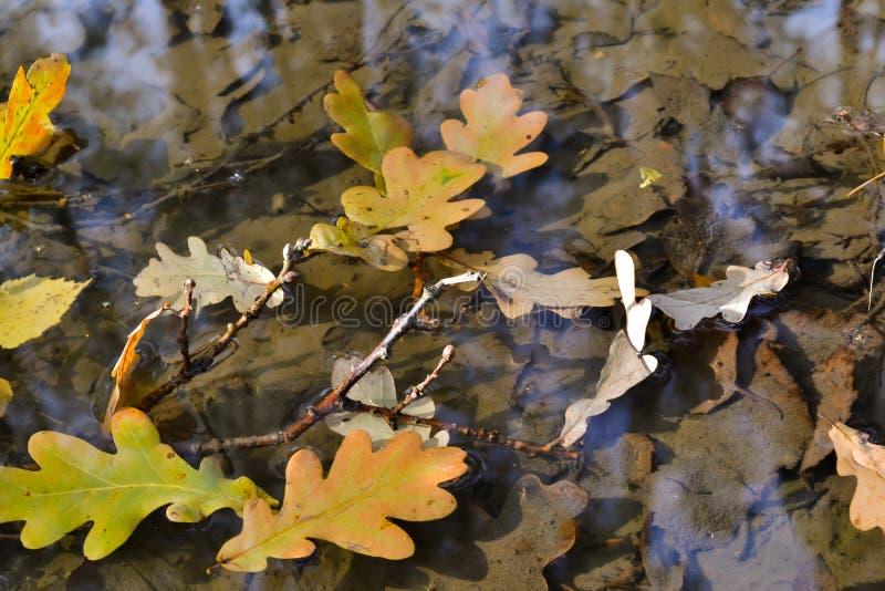 De herfst eiken bladeren in een vulklei Het bos wordt weerspiegeld in het water stock afbeelding