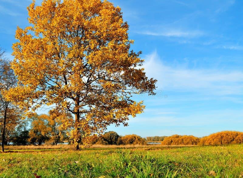 De herfst eiken boom op de herfstgebied in het zonnige landschap van de weerherfst stock foto's