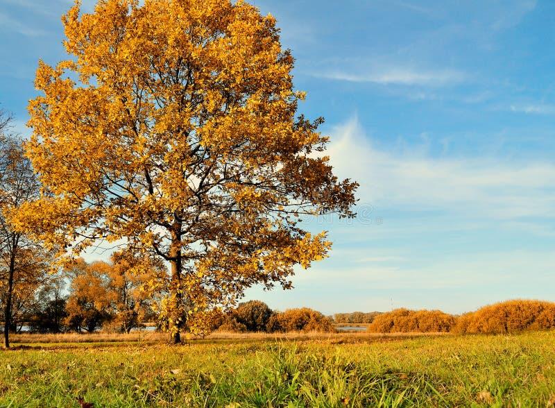 De herfst eiken boom op de herfstgebied in zonnig weer de herfst gekleurd landschap stock foto