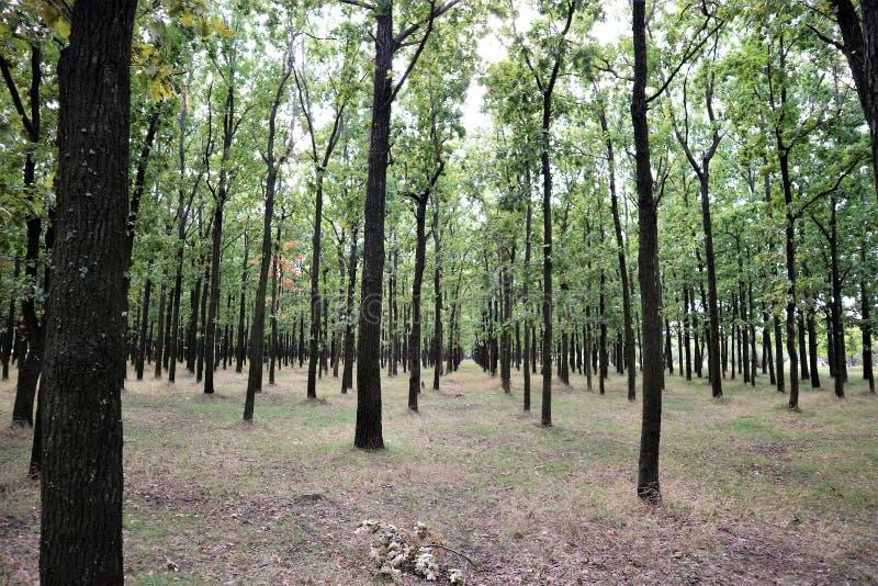 De herfst eiken bosje van stadspark stock fotografie
