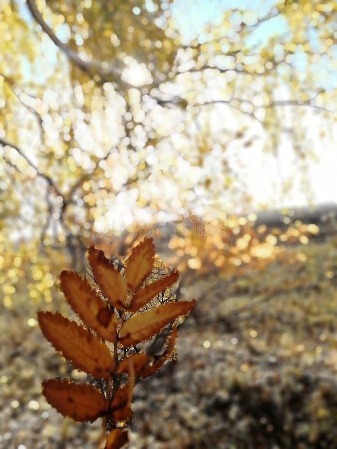 De herfst en bladeren tegen de ochtendzon stock foto's