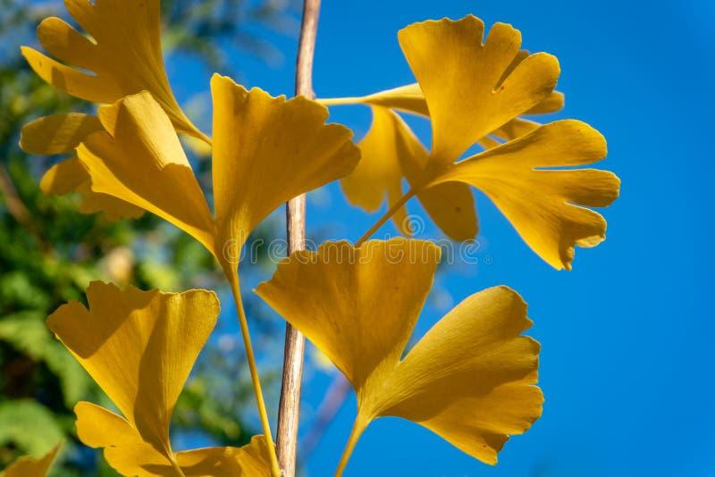 De herfst geel en bladgouden van Ginkgo-bilobaboom tegen de blauwe hemel stock afbeeldingen